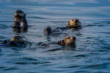 Group Of Sea Otters Floating In Alaskan Waters