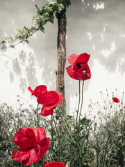 FototapetaRed Color Poppy flowers plants at field on summer