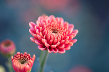 Pink Chrysanthemums Close Up I...