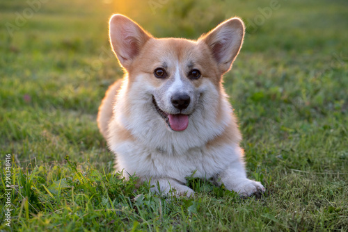 Portrait of Pembroke Welsh Corgi lying on a meadow at backlight Canvas Print