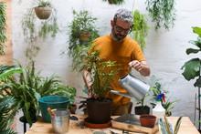 Man Watering Green Plant (Schefflera Umbrella Dwarf Plant)