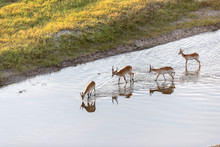 Aerial View Of Antelopes Walking In The Water, In The Morning Light