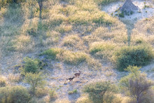 Aerial View Of A Wild Dog Hunting A Gazelle In A Wooded Area