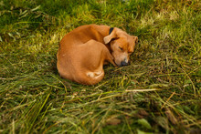 Red-haired Dog Lies On The Grass