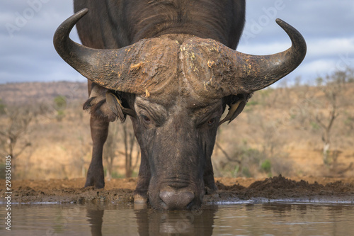 Recess Fitting Buffalo Drinking Buffalo Low Angle