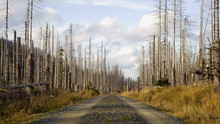 Road Through A Forest Of Dead Trees. Forest Dieback In The Harz National Park, Saxony-Anhalt, Germany, Europe. Dying Spruce Trees, Drought And Bark Beetle Infestation, Autumn Of 2019.