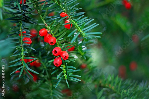 Obraz na płótnie inedible poisonous bitter red yew berries on a green branch