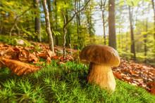 Ein Frischer Und Knackiger Steinpilz Steht Im Leuchtenden Herbstwald Und Bekommt Ein Paar Strahlen Der Herbstsonne Ab