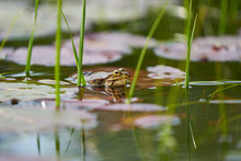 A Frog In A Pond