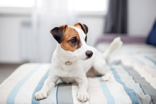 Purebred Jack Russell Terrier ...
