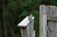 Baby ( Hatchlings ) Bluebirds Sitting On Top Of Bluebird House