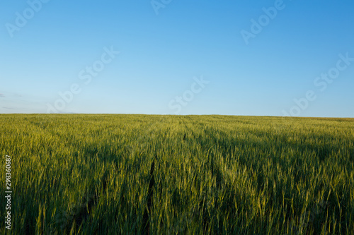 Foto auf Gartenposter Blau Field of fresh green wheat and blue sky on a background