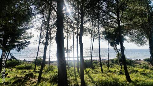 Fototapeta morning in the forest at the sea. Lanterna Beach, Vir, Croatia obraz na płótnie