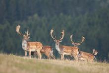 Fallow Deer, Dama Dama, Czech Forest