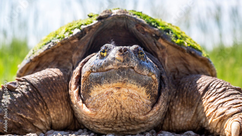 Foto close up portrait of a snapping turtle