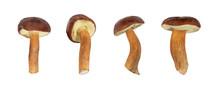 Boletus Badius Or Bay Bolete Mushroom Collection Isolated