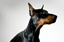 Doberman Dog Portrait On White...