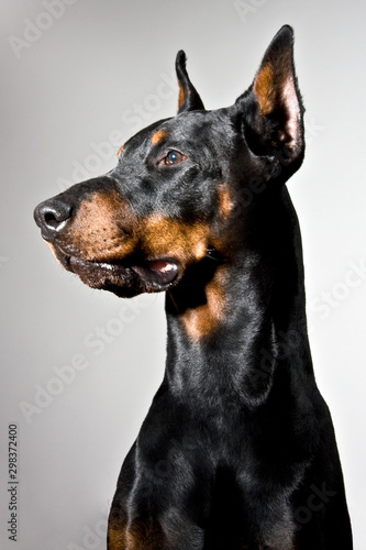 Leinwand Poster Doberman dog portrait on white background. Side profile