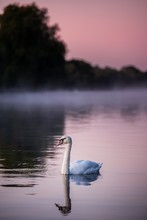 Vertical Shot Of A Swan In The...