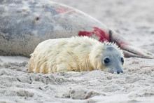 Puppy Of Grey Seal (Halichoer...