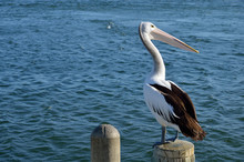 Pelican On The Pole