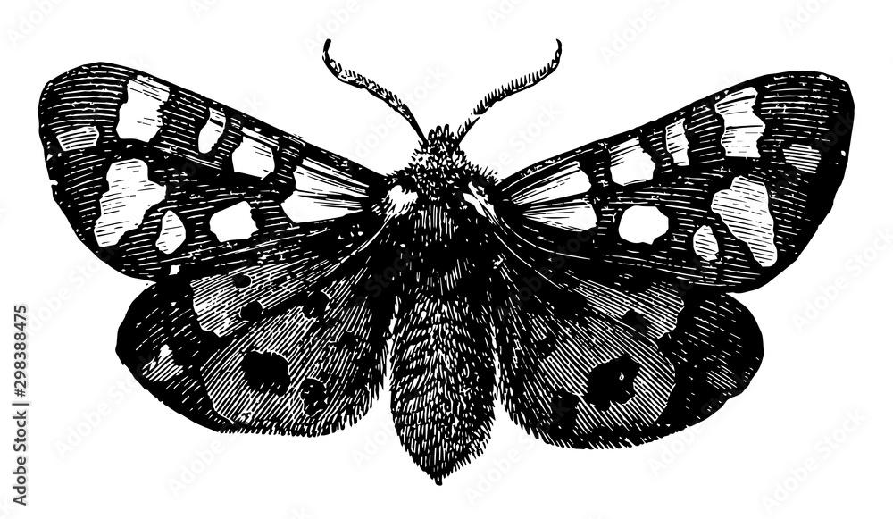Fototapety, obrazy: Tiger Moth, vintage illustration.