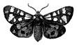 Tiger Moth, vintage illustration.
