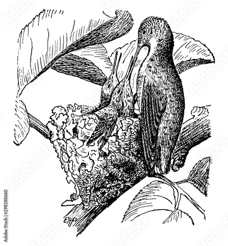 Valokuva  Bird Feeding Hatchlings, vintage illustration.