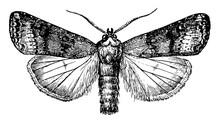 Cutworm Moth, Vintage Illustration.