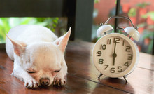 Short Hair White Chihuahua Dog Lying Down On Wooden Bench In The Garden Beside Vintage Alarm Clock