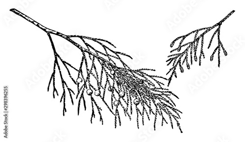Photo Branch of Juniperus Barbadensis vintage illustration.