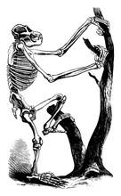 Chimpanzee Skeleton, Vintage Illustration.