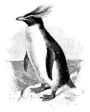 Southern Rockhopper Penguin, Vintage Illustration.