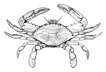 Blue Crab, Vintage Illustration.