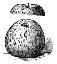 Ben Davis Apple Vintage Illust...
