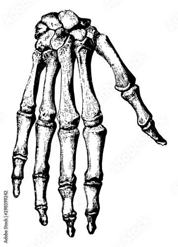 Bones of the Hand, vintage illustration. Canvas Print