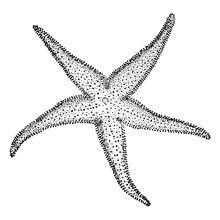 Starfish, Vintage Illustration..