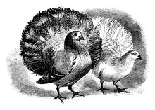 Two Fantail Pigeons, Vintage I...