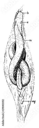 Californian Hagfish, vintage illustration. Fototapet