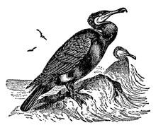 Double Crested Cormorant, Vint...