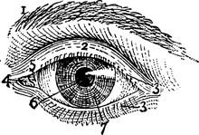 Exterior Of Left Human Eye, Vi...
