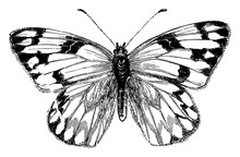 Female Cabbage Butterfly, Vintage Illustration.