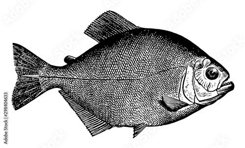 Piraya Piranha, vintage illustration. Canvas-taulu