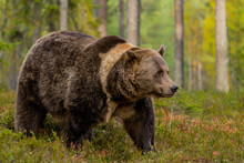 Brown Bear In The Taiga Forest