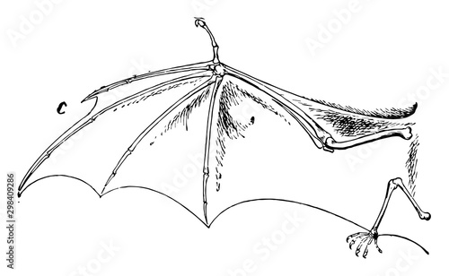 Bat Wing, vintage illustration. Canvas Print