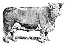 Beef Cow, Vintage Illustration.