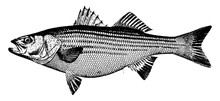 Striped Bass, Vintage Illustration.