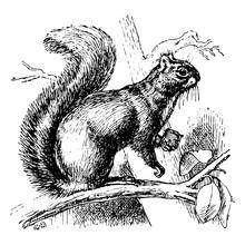 Gray Squirrel, Vintage Illustr...