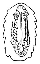 Chiton With Shell Removed, Vintage Illustration.