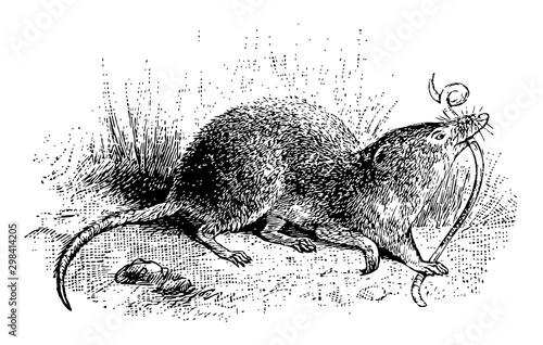 Fotografie, Obraz  Common Shrew, vintage illustration.